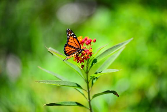 monarch-butterfly-deering-estate