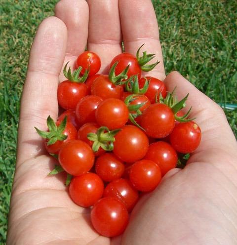 matts-wild-cherry-tomato