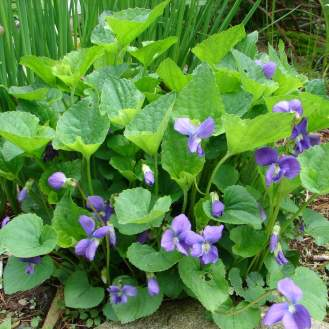 t1200-Common blue violet - a tasty weed