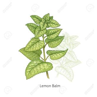 Lemon Balm. Medical herbs and plants Isolated green on white background series. Vector illustration. Art sketch. Hand drawing object of nature. Vintage engraving style.