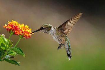 hummingbird-w-lantana-big-5792aed85f9b58173bc9f2cd