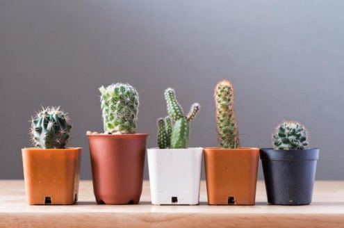 Indoor-Cactus-Plants