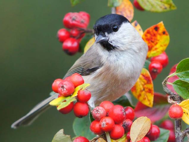 planting-to-attract-birds-iStock_000029940776-cotoneaster
