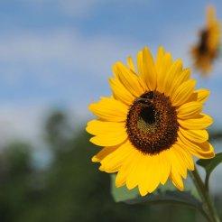 sunflower-f894a6fb2d42f3b38ed9dda71998ad8f9ce6a743-s800-c85