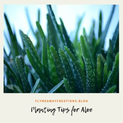 Planting Tips for Aloe