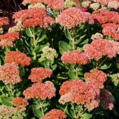 Autumn-Joy-sedum-big-56b6bdb93df78c0b135b92f3